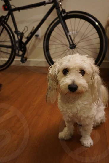 adult Maltese sits on brown parquet floor near black and red rigid mountain bike photo
