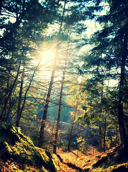 The sun appearing through the trees in a forest in Poland. photo