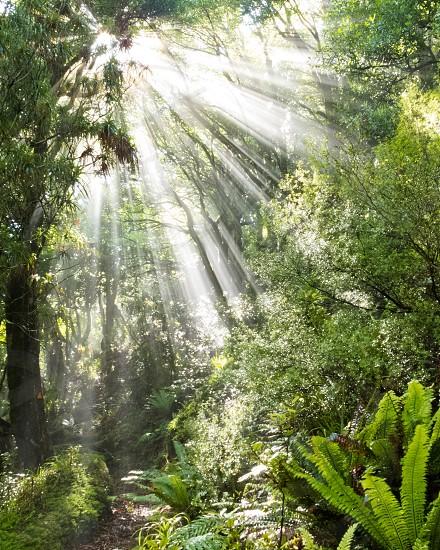 Sun beams of light penetrating dense lush green canopy of subtropical rainforest jungle wilderness New Zealand photo