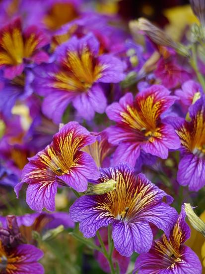 Spring colors; flower; blooms; purple photo