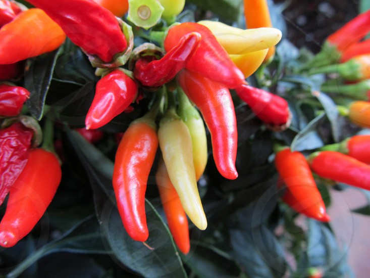 Multi-colored peppers at farmers market photo