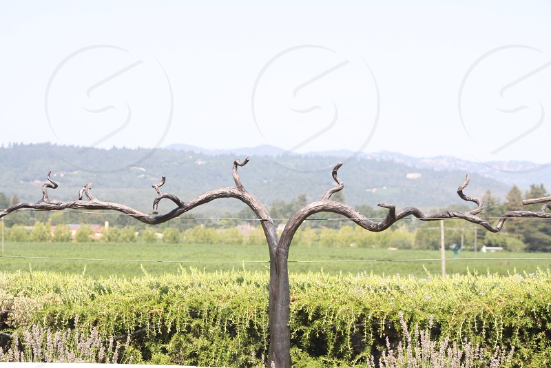 napa wine vines photo
