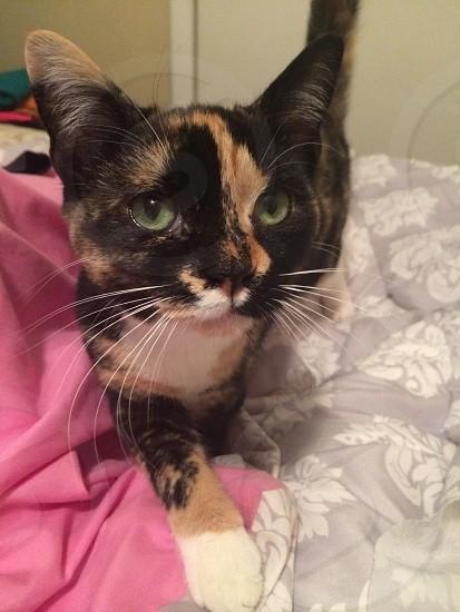 Calico cat photo