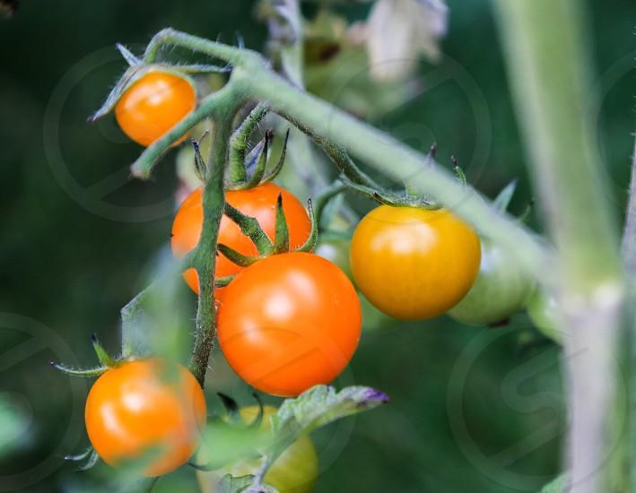 Tomatoe  photo