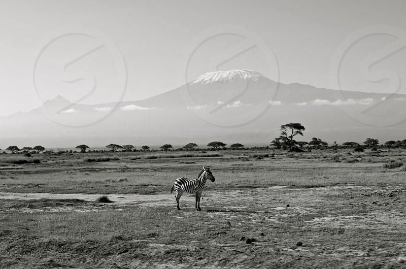Kenya. Kilimanjaro. Zebra. Black and white shot on safari.  photo