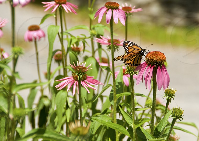 Season summer nature Monarch & Daisies photo