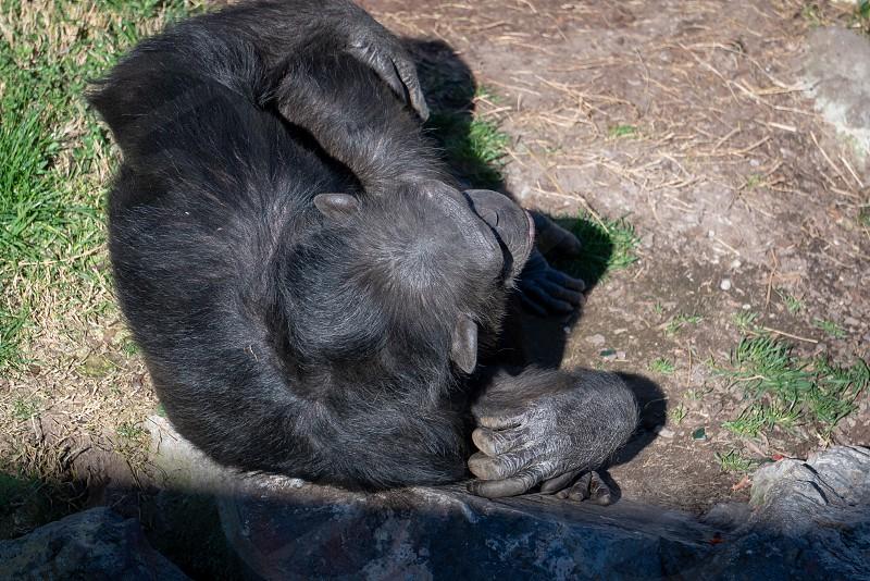 VALENCIA SPAIN - FEBRUARY 26 : Chimpanzee at the Bioparc in Valencia Spain on February 26 2019 photo