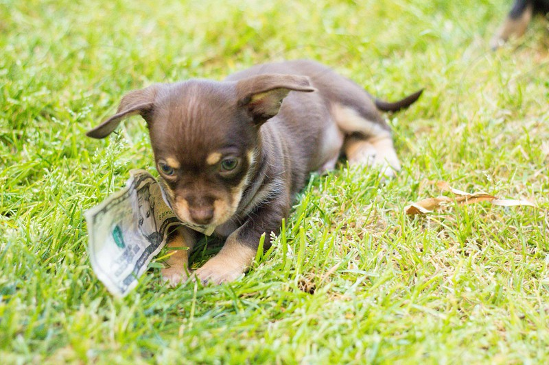 brown two tone haired dog laying on green grass with 5 dollar bill us in mouth photo