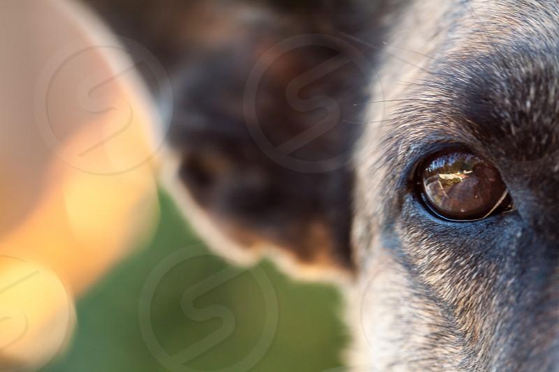 eye reflection dog canine dog's eye domestic animal pet photo