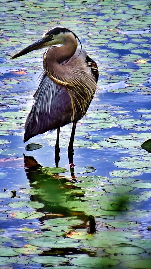 Great Blue Heron water fowl bird lake lily pads photo