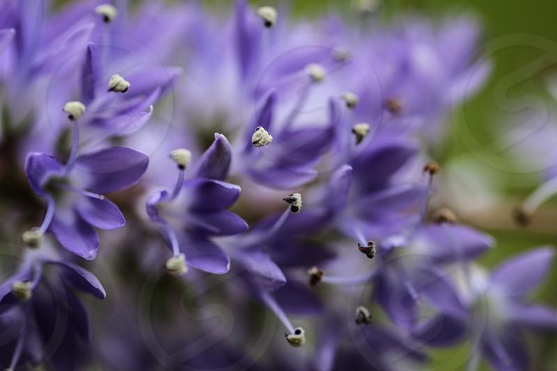 flower flowers bloom summer macro marcophotography purple photo
