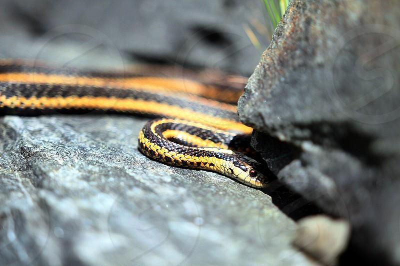 Yellow snake garden bright rock stone summer heat hot baby non venomous  photo