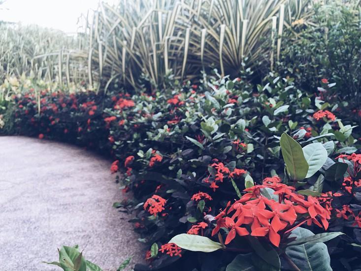 Ixora flowers beside pavement photo