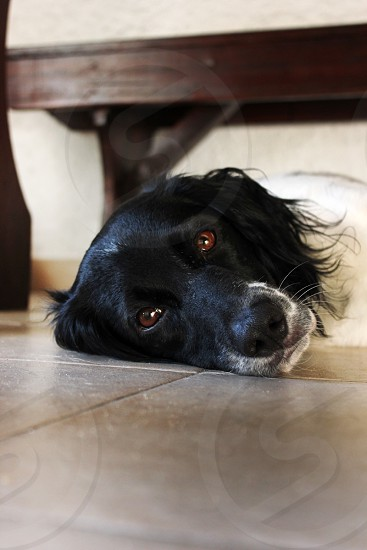 dog laying under the table photo