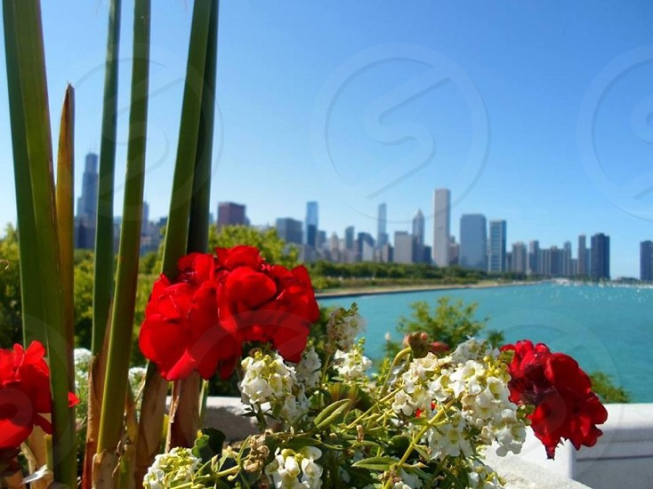 red and white petaled flowers photo