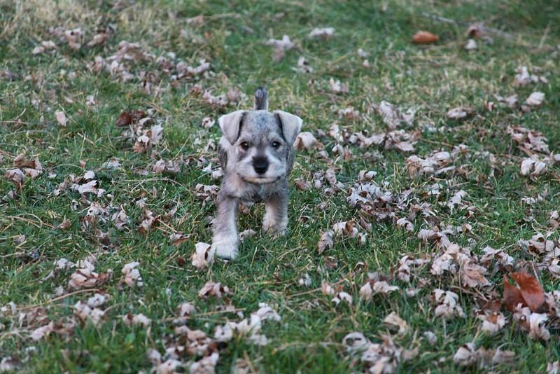 grey puppy photo