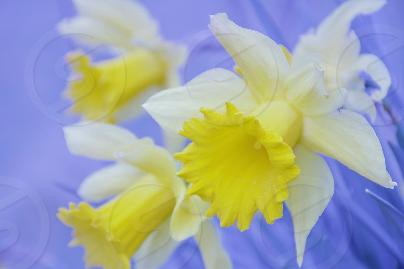 Nature abstract.Daffodil flower heads on bright and vibrant blurred blue background.Springtime freshness and colour match.Dreamlike soft flower image. photo