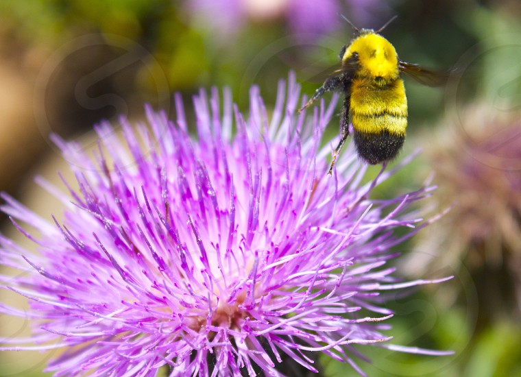 Bee flower spring pollinator plants bright colors life purple bumblebee buzz pollen pollinate relationship seeds photo