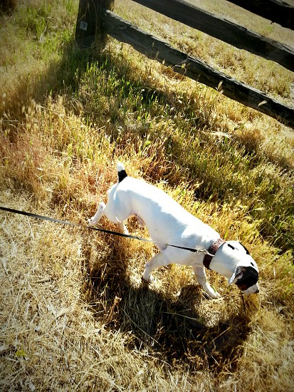 short-coat white dog with black leash on green field photo