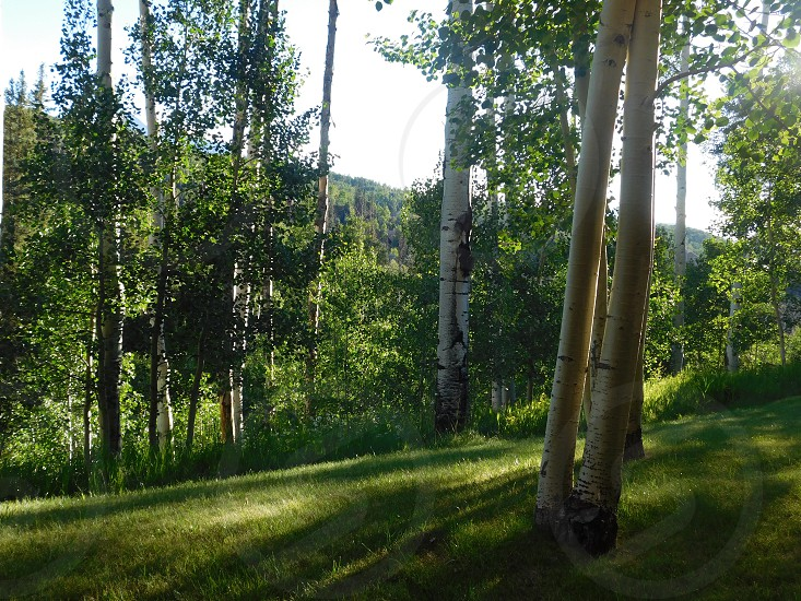 Summer Time Colorado Aspen Trees Telluride Mt. Village photo