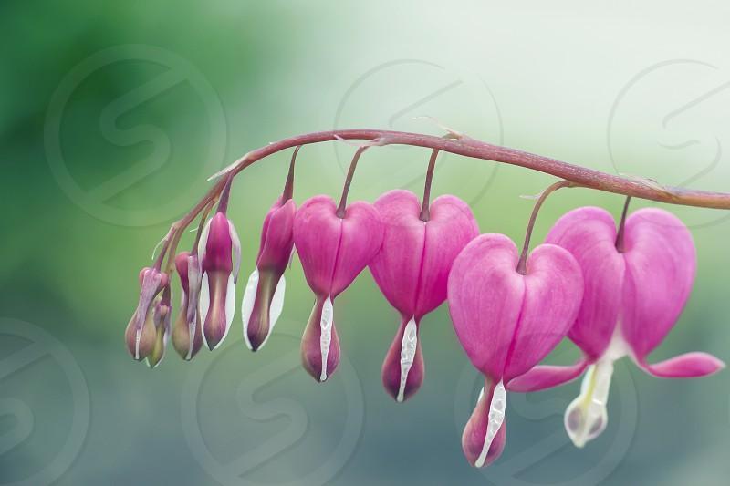 Close up of bleeding hearts flower. photo