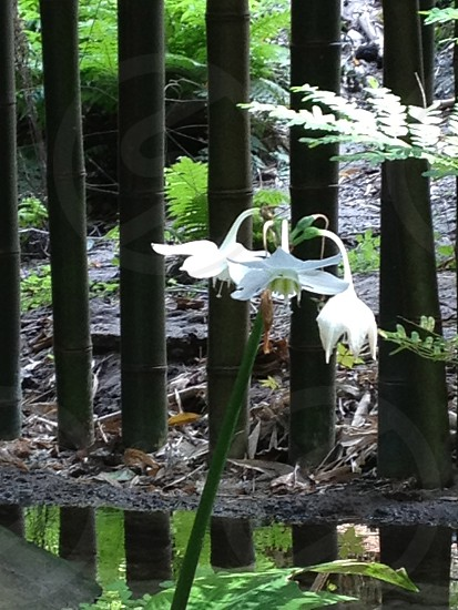Flowers in front of bamboo photo