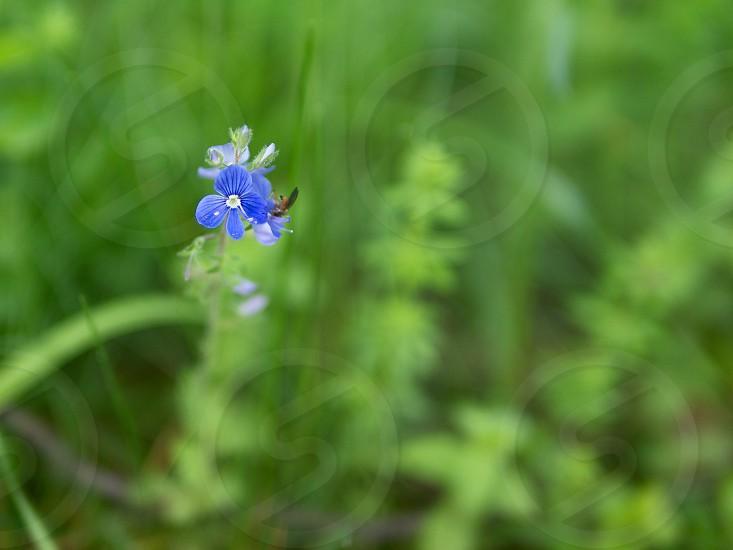 Grass flower green blue flower photo