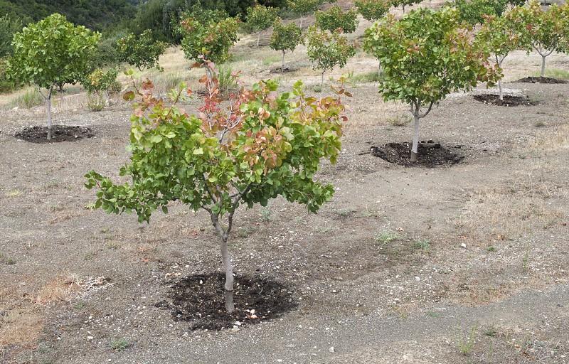 Pistachio trees in Greece. Pistachio plantation. Greece photo