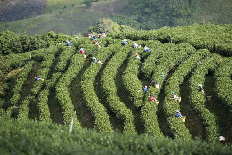 tea Harvest and earning at the tea plantation at the town of Mae Salong north of the city Chiang Rai in North Thailand. photo