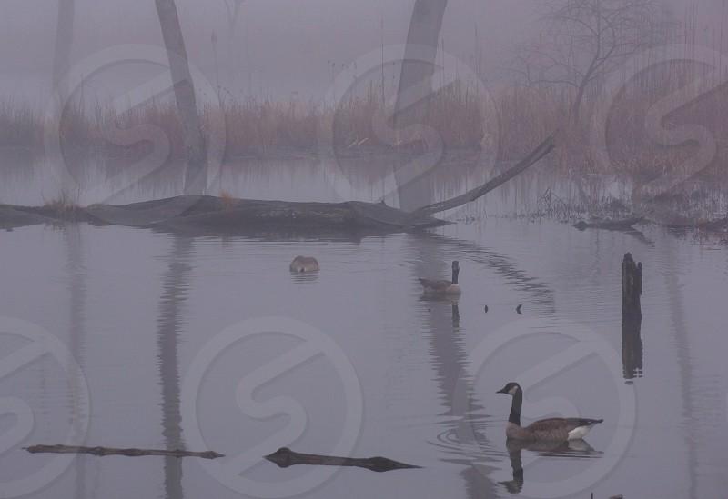 Ducks in pond. Fog. Mist. Muted. photo