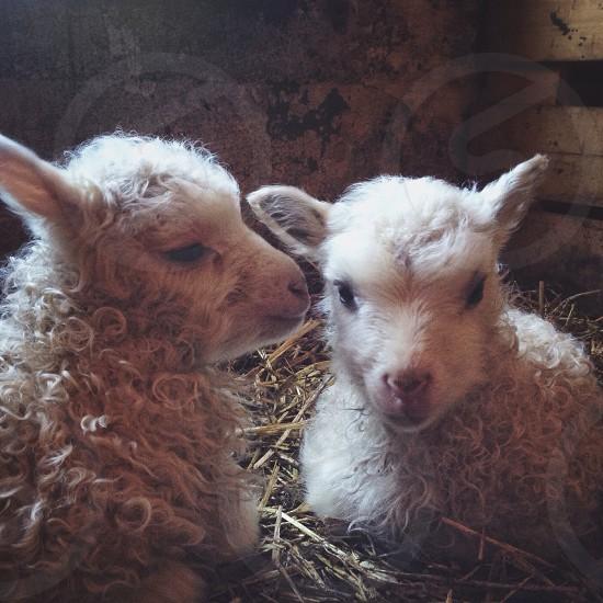 2 sheeps photo