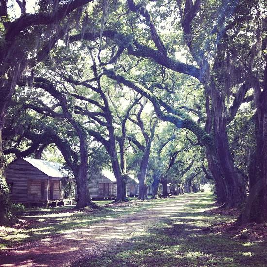 Original slave cabins among the oak trees at a sugar came plantation in Louisiana. photo