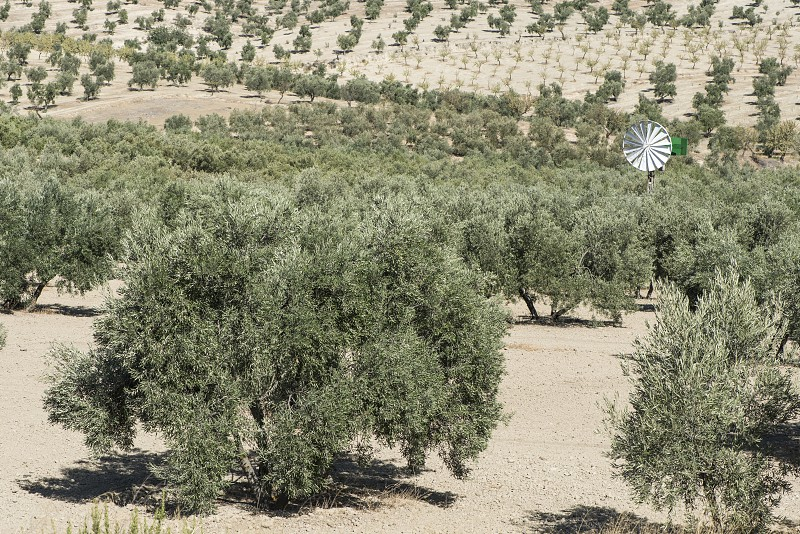 Olive trees in a row. Olive plantation photo