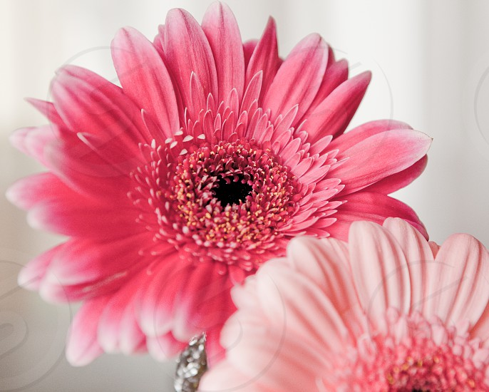 pink gerbera daisies photo