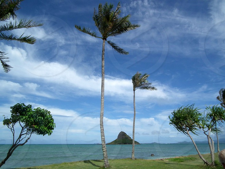 coconut tree at the beach side photo