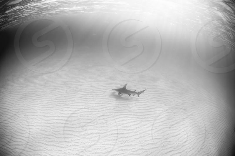A hammerhead shark at dusk swimming on a white sand bottom. photo