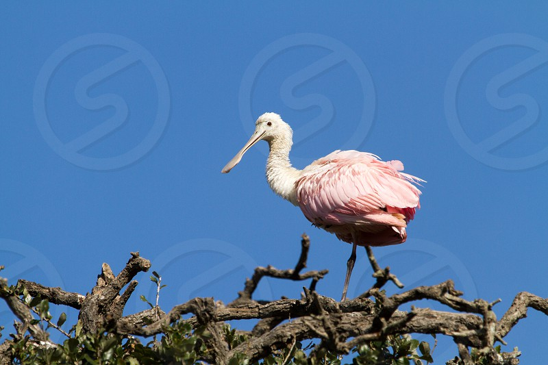 A roseate spoonbill at the Alligator Farm in St. Augustine Florida photo