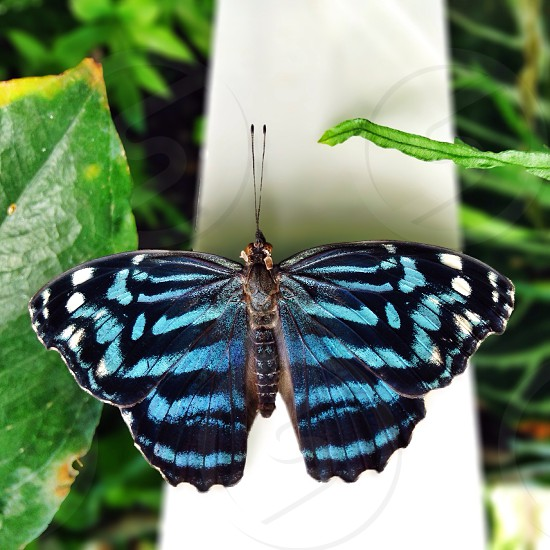 A beautiful blue butterfly! photo