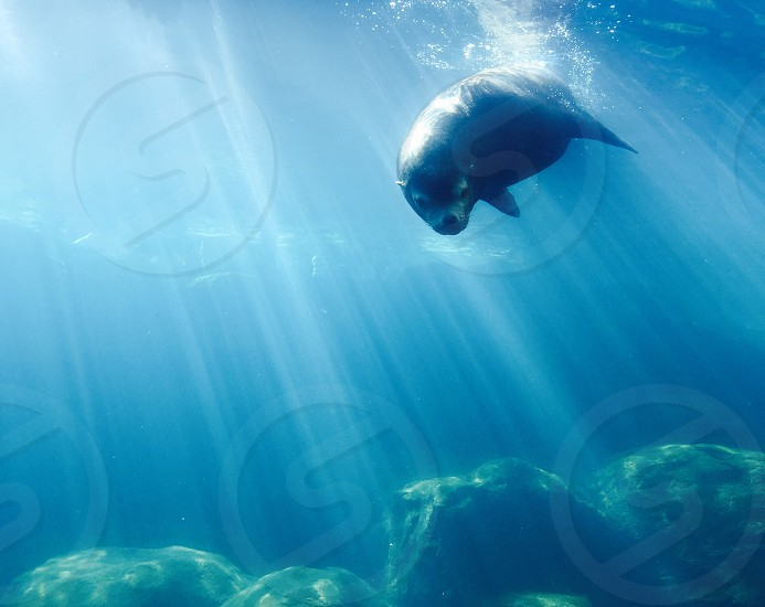 Sea lion aquarium blue water underwater seal aquatic ocean marine life photo