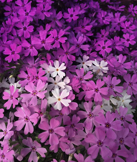 Flowers violet flowersmagenta white flowersoutdoorgardentravelingtravel photo