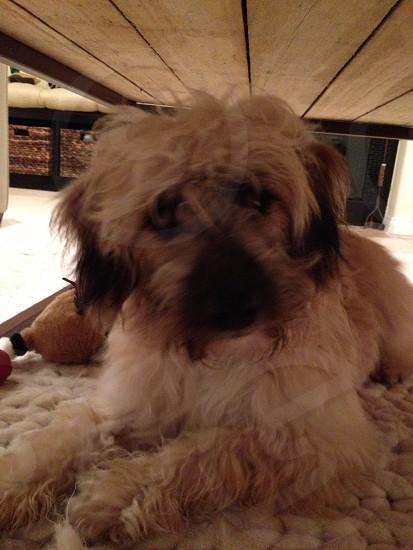 Teddy dog photo