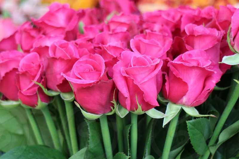 Bunch of Pink Roses Beautiful Fresh Bright photo