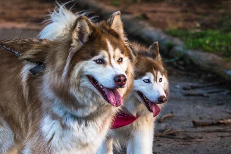 Dogs husky malamute dog puppy Alaskan Siberian warm eyes tongue summer walk domestic beautiful love happiness friends photo