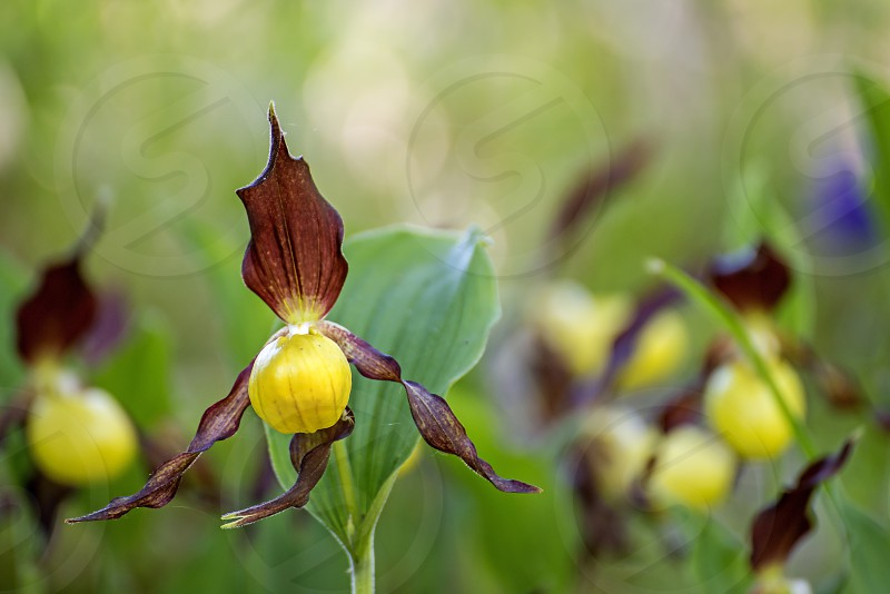 wild protected orchids of Germany Lady Slipper Orchid photo
