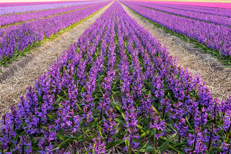 uploaded for a challenge about triangles : in reality all these purple flower (hyacinthe) fields in Netherlands were rectangular but by playing with camera when I composed these fields now look like triangular ones : the magic of photography. photo
