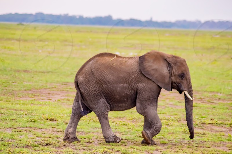 Huge elephant isolated on the trail in the savannah of Amboseli Park in Kenya photo