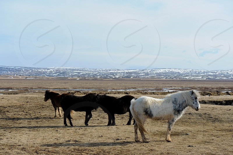 three black ponies by a white pony on a brown grass field photo