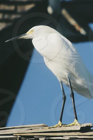 White egret  photo