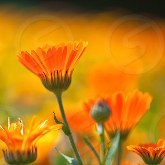 orange daisy photo