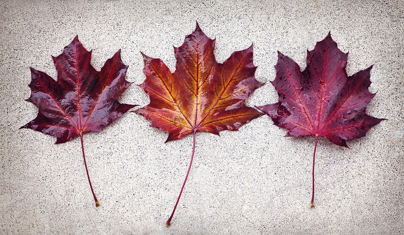 A group of three maple leaves in the fall. photo